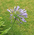Agapanthus violeta-BuenosAires.jpg