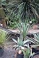 Agave potatorum - Botanischer Garten, Dresden, Germany - DSC08419.JPG