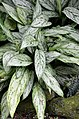 Aglaonema 'Silver Queen' Leaves.JPG
