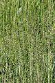 Agrostis tenuis1.jpg