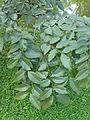Ahala-Cassia fistula-Sri Lanka (1).jpg