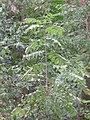 Ailanthus altissima - kiselo drvo.jpg