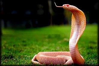 Indian cobra - Albino naja naja