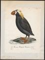 Alca cirrhata - 1825-1834 - Print - Iconographia Zoologica - Special Collections University of Amsterdam - UBA01 IZ17800145.tif