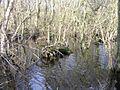 Alder swamp, Broad Fen, Dilham, Norfolk - geograph.org.uk - 315278.jpg