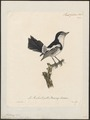 Alectrurus tricolor - 1825-1834 - Print - Iconographia Zoologica - Special Collections University of Amsterdam - UBA01 IZ16500233.tif