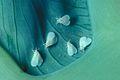 Aleuroglandulus malangae 1481052.jpg