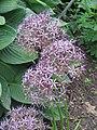 Allium cristophii01.jpg