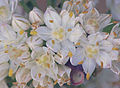 Allium fistulosum var. bulbifera, Sint-jansui bloemen.jpg