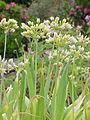 Allium moly1.jpg