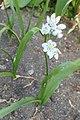 Allium neapolitanum kz01.jpg