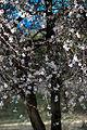 Almond Trees (12196017643).jpg