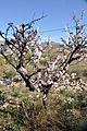 Almonds in bloom in Agost.jpg