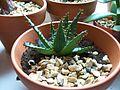 Aloe broomii (5511913894).jpg