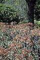 Aloe chabaudii WPC.jpg