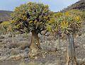Aloe dichotoma01.jpg
