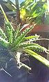 Aloe vera a napfényben.jpg