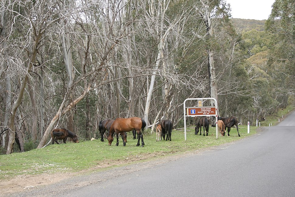 Alpine Way brumbies