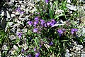 Alpine flora (Gru) (37332157150).jpg