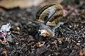 Alter Friedhof Duisburg 18.05.2017 Garden Snail - Cornu aspersum (35152834146).jpg