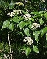 Alternate-leaved Dogwood (Cornus alternifolia) - Guelph, Ontario 2020-06-07 (02).jpg