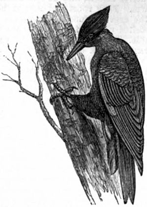 AmCyc Woodpecker - black woodpecker.jpg