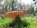 Amanita muscaria (29778152980).jpg