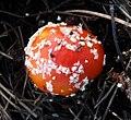 Amanita muscaria - Flickr - gailhampshire.jpg