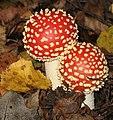 Amanita muscaria imGrubeAdolfPark.jpg