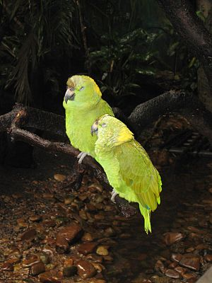Loja Province - Amazon parrot