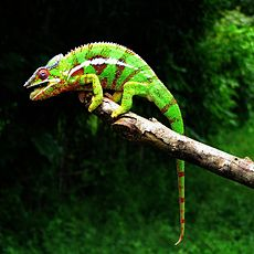 Amber Mountain National Park Panther Chameleon - panoramio.jpg
