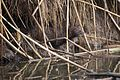 American Mink at Cokeville Meadows NWR (21451659891).jpg