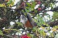 American Robin. Turdus migratorius - Flickr - gailhampshire (1).jpg