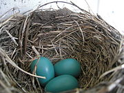 The nest is about 13 cm (5 in) across