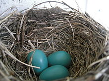 American Robin nest and eggs.JPG