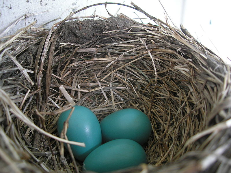File:American Robin nest and eggs.JPG