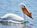 American White Pelican (17288815305).jpg