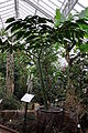 Amorphophallus titanum (Araceae) - reuzenaronskelk Nationale Plantentuin Meise 10-01-2010 14-37-22.JPG