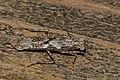 Amorphoscelid Mantis (Amorphoscelis tuberculata) (31327423103).jpg