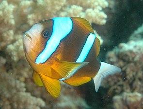 Barriereriff-Anemonenfisch(Amphiprion bicinctus)