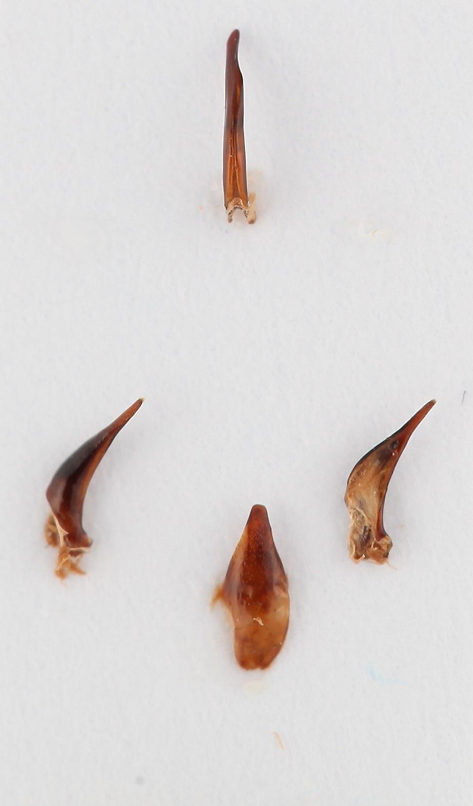 Amphizoagenitalia