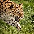 Amur Leopard (222069703).jpeg