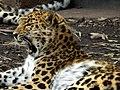 An amur leopard yawning - panoramio.jpg