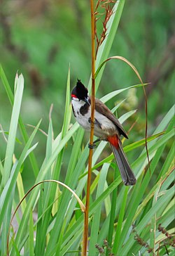 An enticing red vented bulbul.jpg