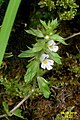 An eyebright (Gru) (31859894531).jpg