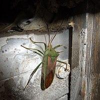 Anacanthocoris striicornis by OpenCage.jpg