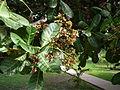 Anacardium occidentale 0008.jpg