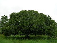 Anacardium occidentale tree.jpg