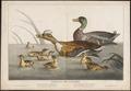 Anas boschas - 1700-1880 - Print - Iconographia Zoologica - Special Collections University of Amsterdam - UBA01 IZ17600363.tif
