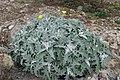 Andryala pinnatifida kz8.jpg